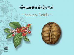Read more about the article ชนิดและสายพันธุ์กาแฟ โรบัสต้า (Robusta)