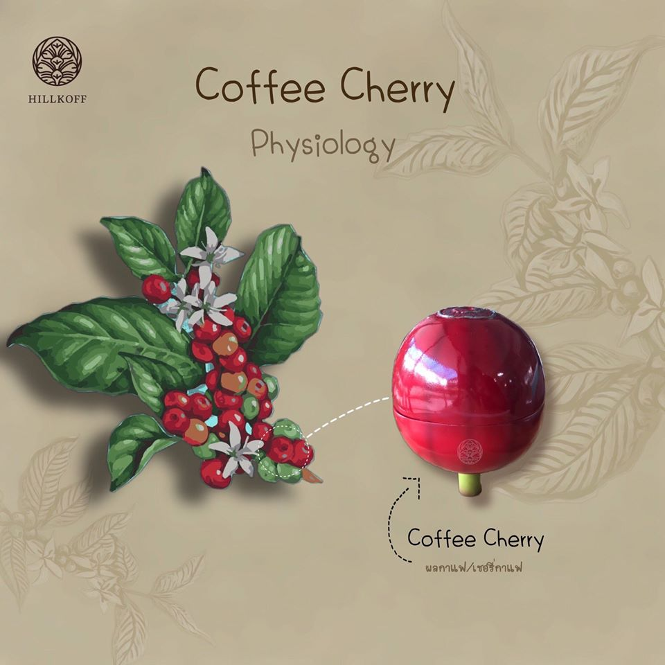 You are currently viewing Coffee Cherry Physiology